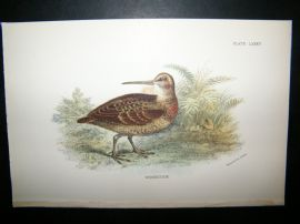 Allen 1890's Antique Bird Print. Woodcock